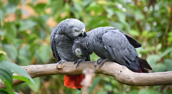 Сивите папагали спонтанно помагат на събратята си