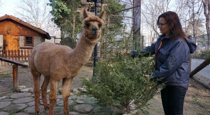 Подариха близо 500 елхи на животните във варненския зоопарк