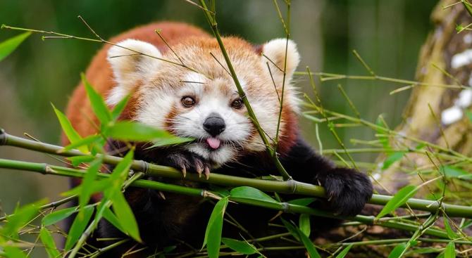 Червената панда Къш отново избяга от зоопарка