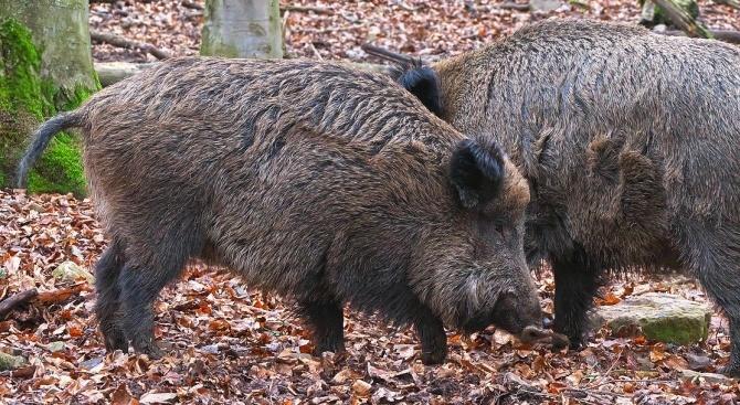 БАБХ призова ловците да не крият информация за мъртви диви свине