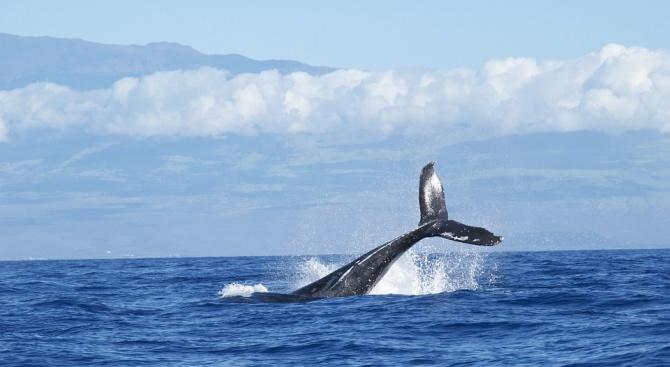 Учени: Слънчевите бури объркват сивите китове