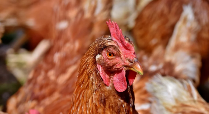 Огнище на птичи грип е потвърдено в Северна Румъния