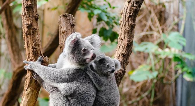 Лекуват десетки коали на о-в Кенгуру