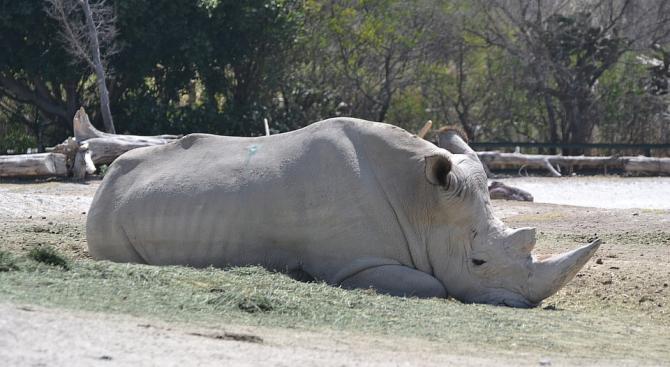 Учени създадоха ембрион на почти изчезналия вид северен бял носорог