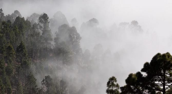 Боровете Уолеми, надживели динозаврите, оцеляха и в австралийските пожари
