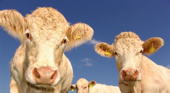 Вдигат с  25% ставката за първите 50 крави/биволи и първите 200 овце/кози