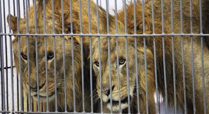 Ветеринари се борят за живота на изтощени лъвове в зоопарк в Хартум