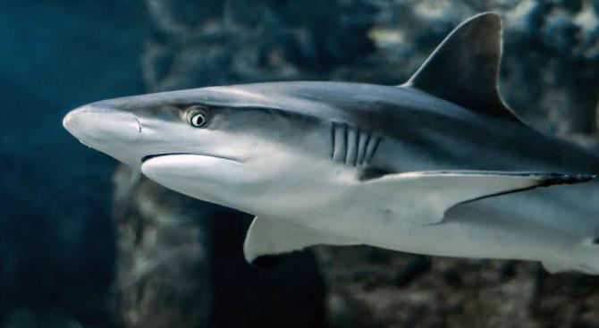 Учени откриха девет нови вида ходещи акули