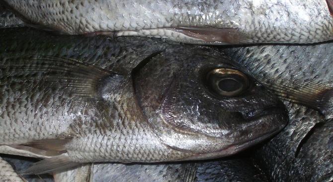 БАБХ в Пловдив започва проверки на тържищата за продажба на умряла риба от река Марица