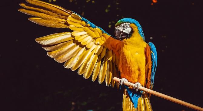 Жена научи папагала си да пее оперни арии, за да дразни съседите си