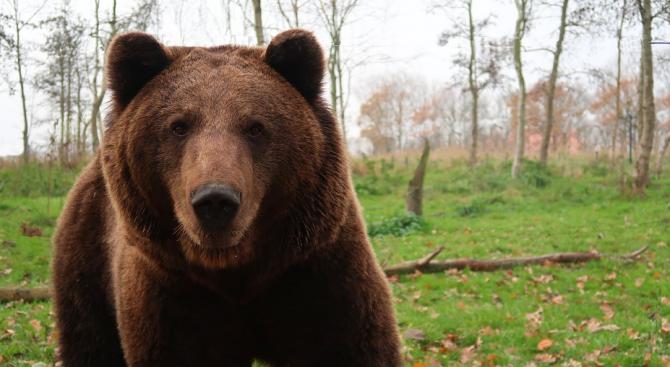 Кафява мечка е забелязана в парк в Испания за първи път от 150 години
