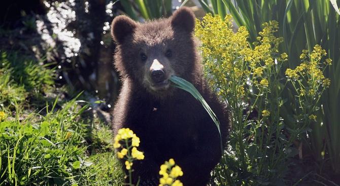 """Следи от мечка се появиха в района на х. """"Алеко"""""""