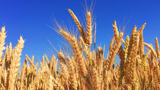 Продукцията от пшеница на Румъния се очаква да спадне съществено