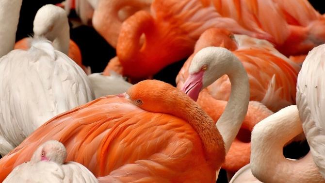 Агресивно фламинго - ето по какво ще го познаете