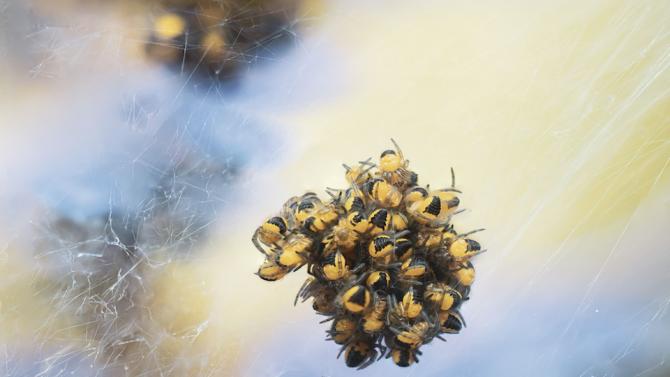 Бейби бум сред паяците в Арктика