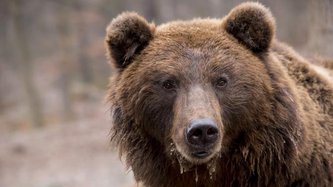 Откриха труп на мечка в землището на с. Грашево