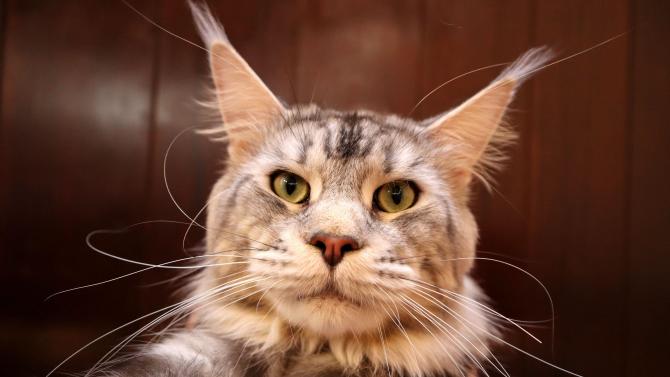 Маркови котки радват варненци и жури на изложба