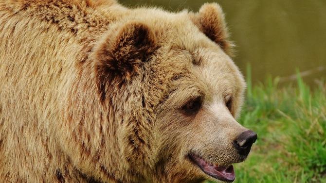 8 говеда и овце бяха разкъсани от мечки в Смолянско през юли