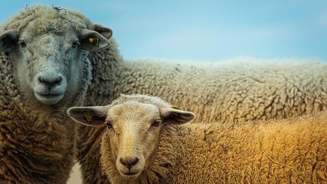 """Симеон Караколев: Не по-малко от 120 000 са """"виртуалните"""" овце и кози в страната"""