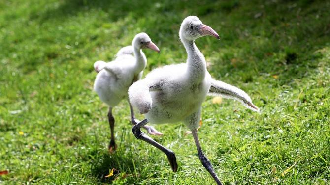 Фламинго, родено в резерват, се превърна в домашен любимец