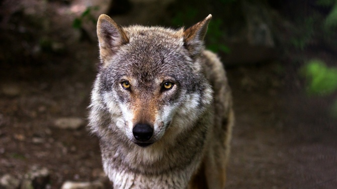 Вълкът вече не е защитен вид в САЩ
