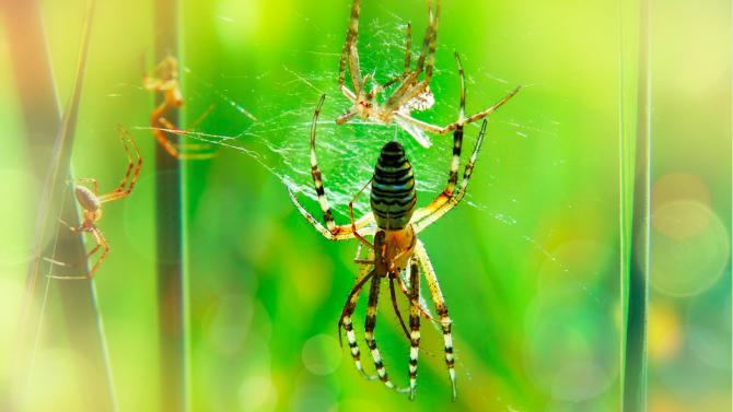 Паяци връзват партньорките си, за да не бъдат изядени