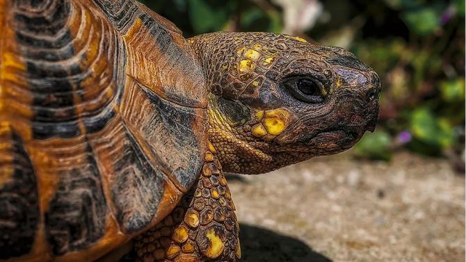 В Еквадор беше открито гнездо на най-голямата водна костенурка в света