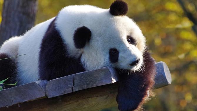 Вижте единствената в света панда албинос