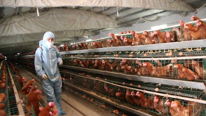 Огнище на инфлуенца по птиците е установено в птицеферма в Славяново