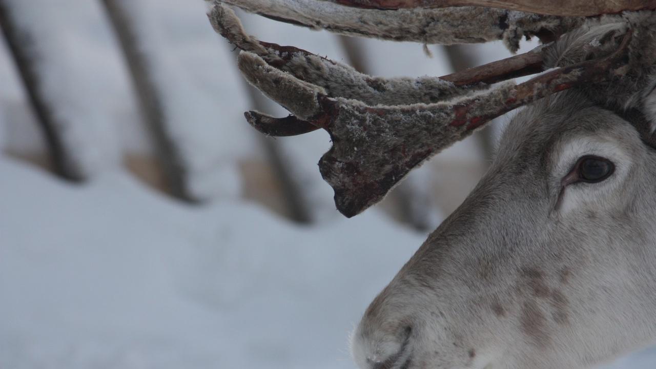 Бракониери отрязаха крайниците на благороден елен