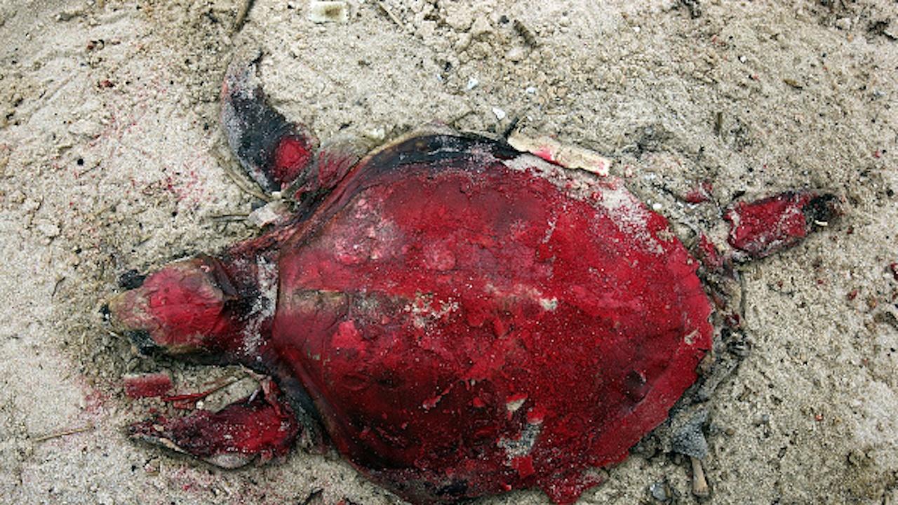 Петролен танкер превърна костенурки в топки мазут