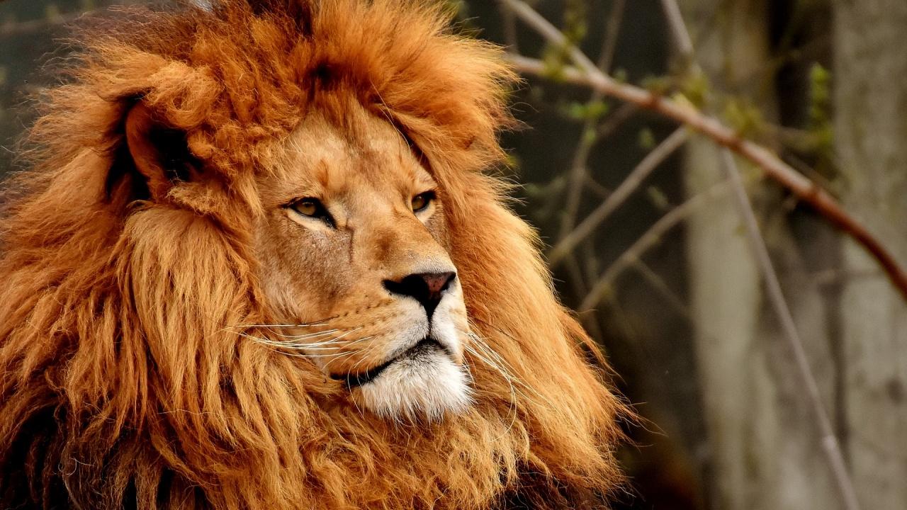 Направиха вазектомия на лъв, станал баща на 5 лъвчета за година