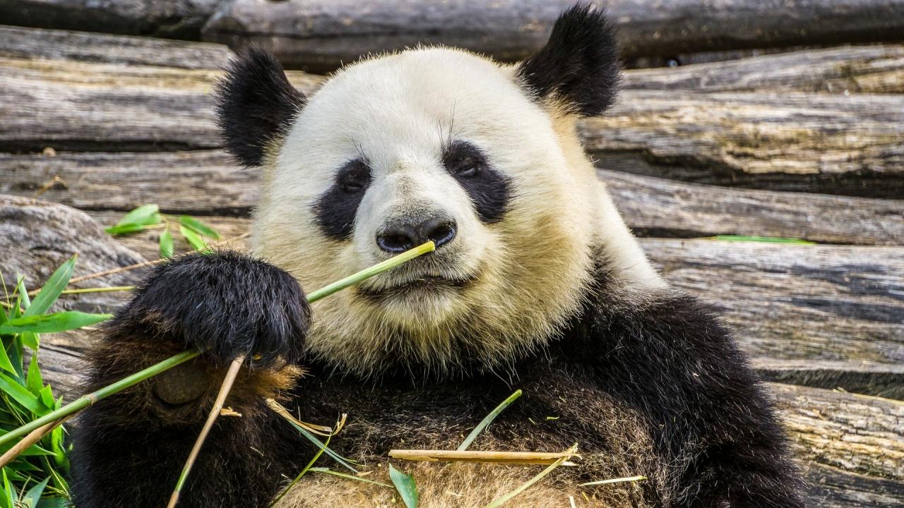 Панда в зоопарка в Москва показа завидни бойни умения