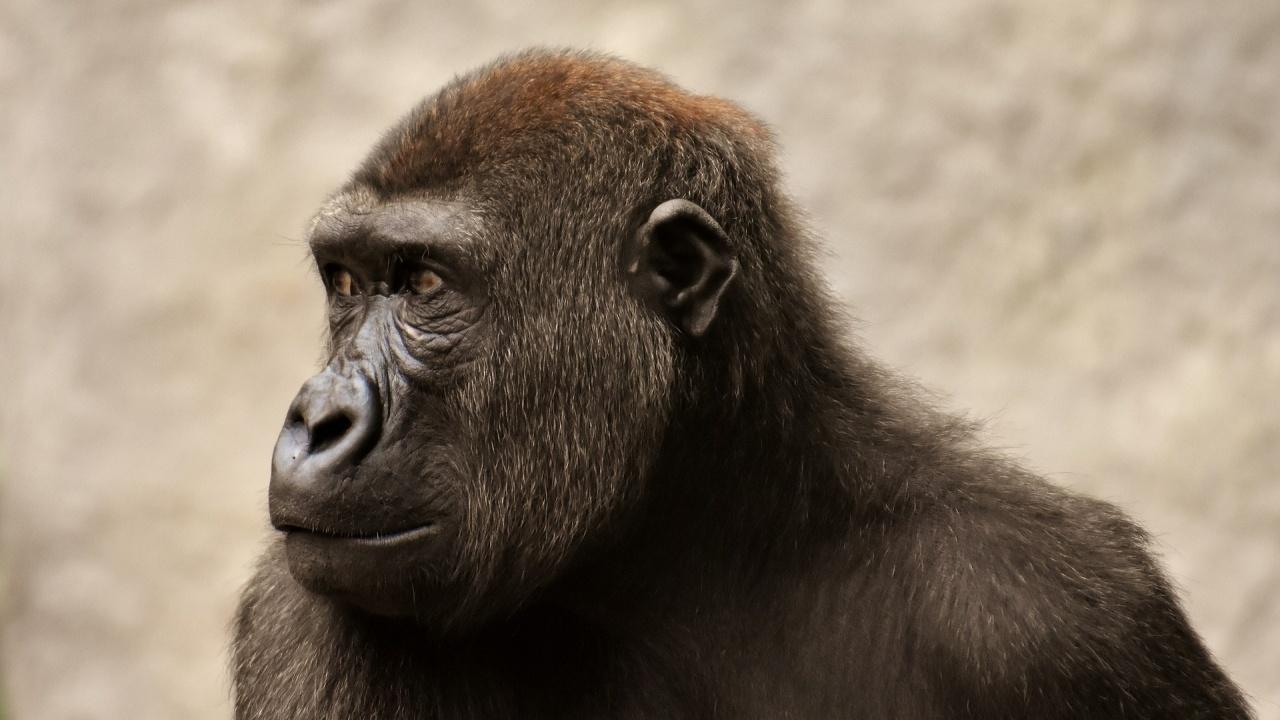 Още две горили с COVID-19 в Парижкия зоопарк