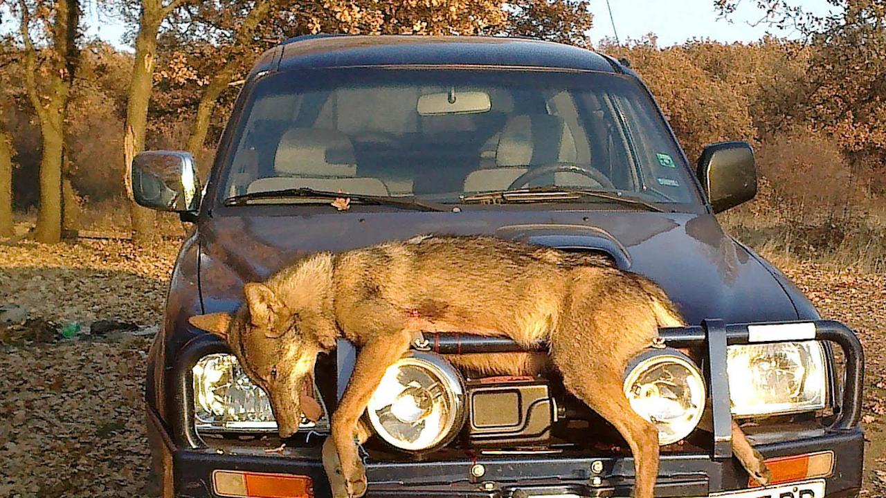 Ловец разпъна убит вълк на джипа си и се разходи из Перник