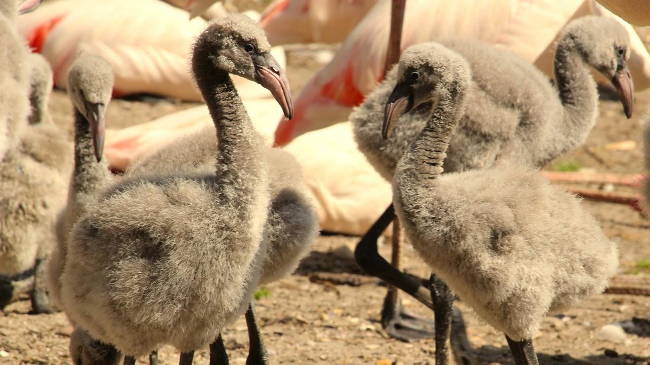 Бебе фламинго се роди в зоопарк в Боливия