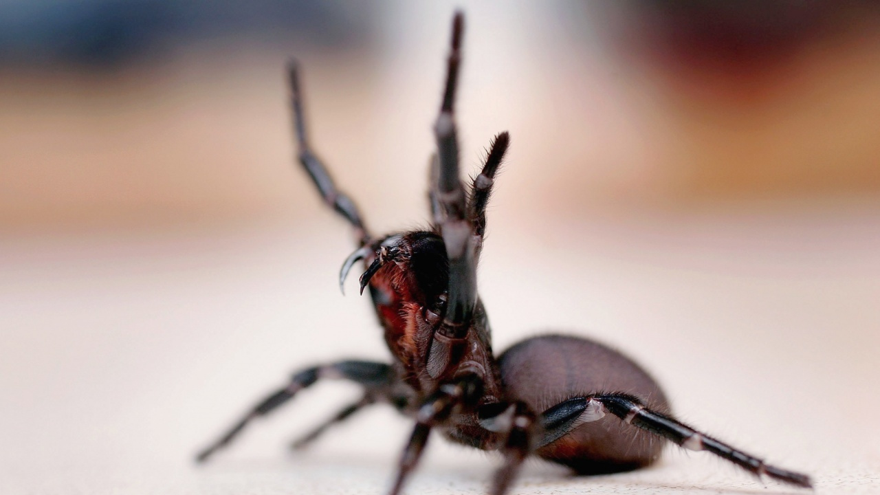 Паяци нападнаха Австралия