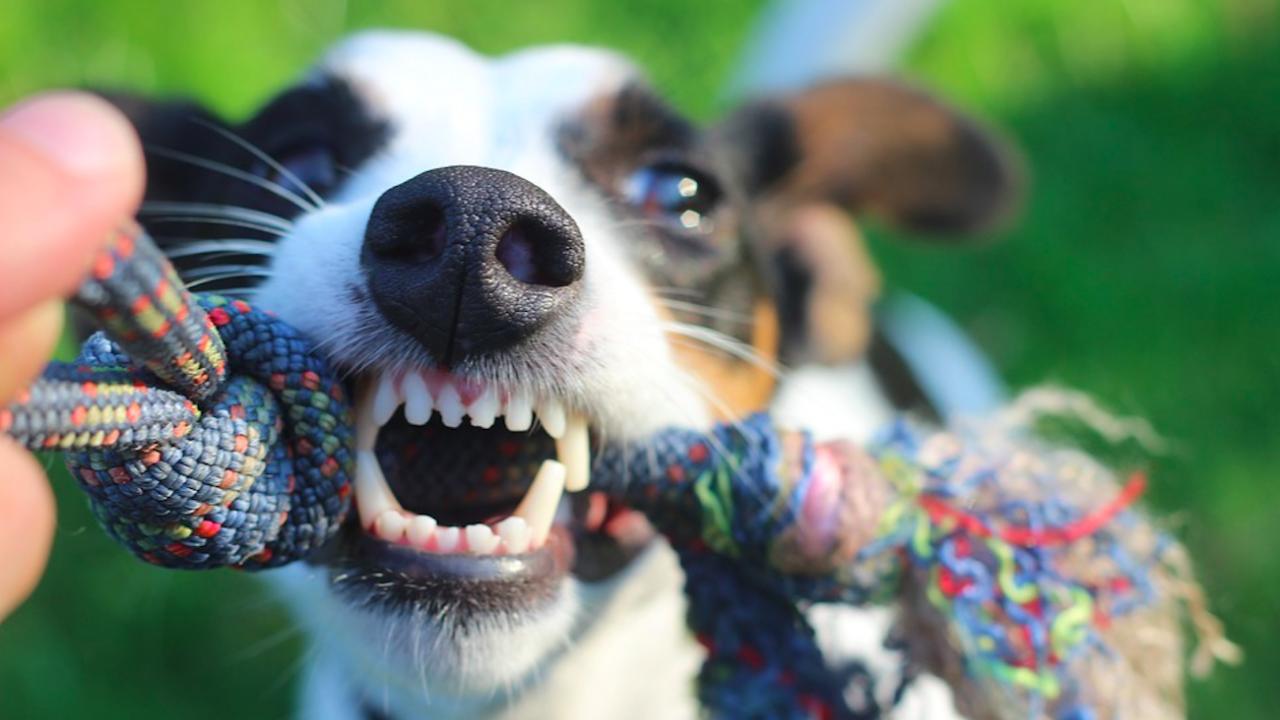 Раздразнителните кучета по-лесно се обучават на трикове