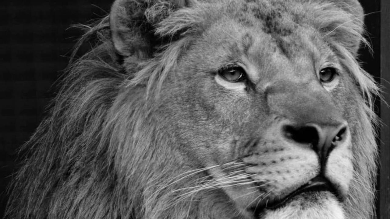 Почина лъвчето Терез, 10 месеца след брат си Масуд