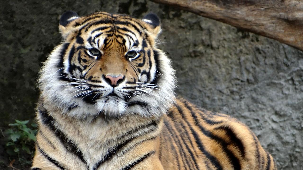 Властите издирват избягал тигър в Хюстън