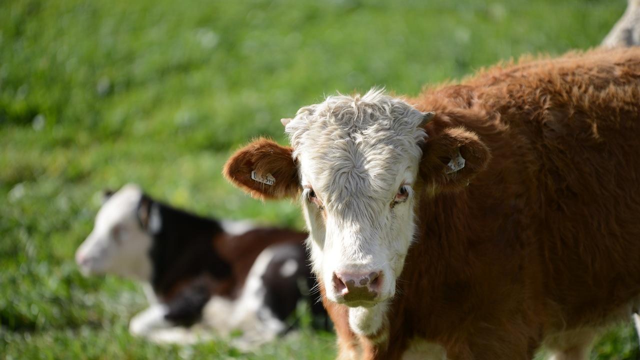 В Тайланд обещават безплатни крави на ваксиниралите се срещу COVID-19