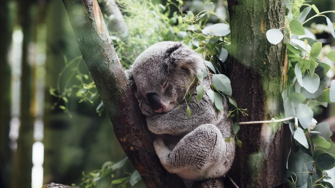 Учени ще опитат лицево разпознаване при коали