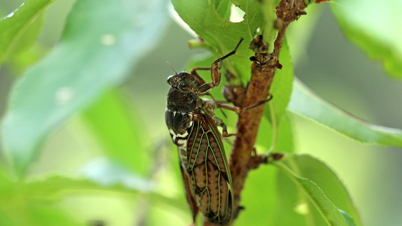 Настроена за любов цикада причини автомобилна катастрофа
