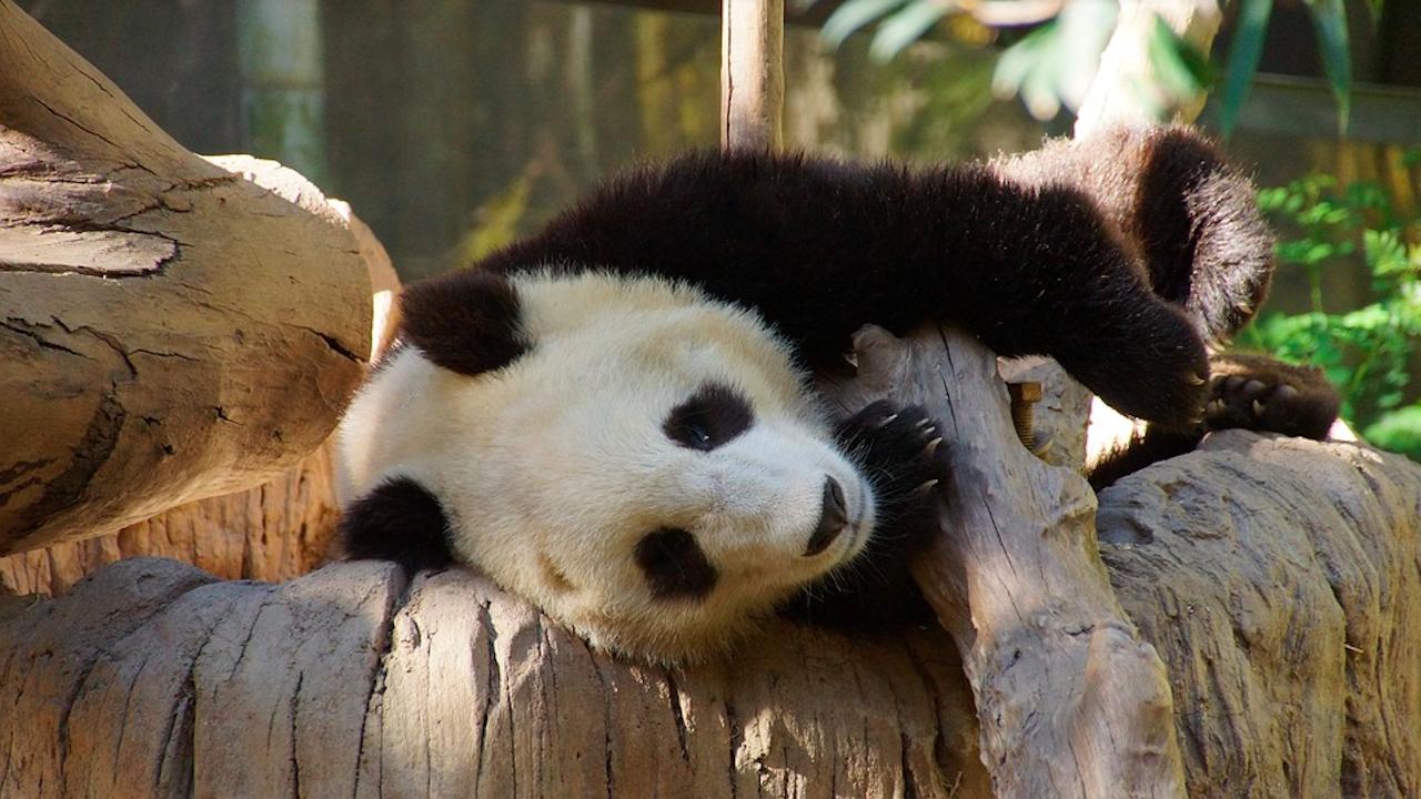 Голяма панда в зоопарк в Токио роди близнаци