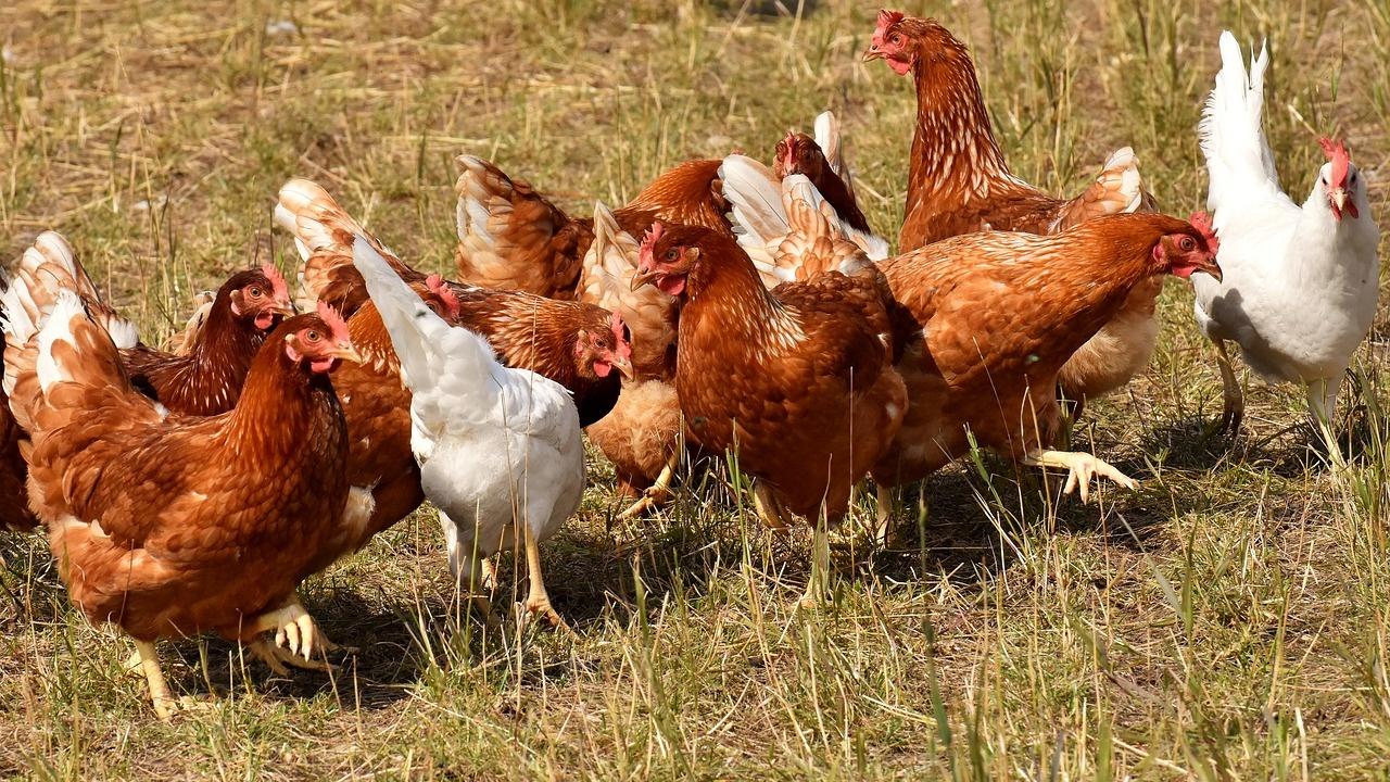 Птицевъдите предупреждават за масови фалити в сектора