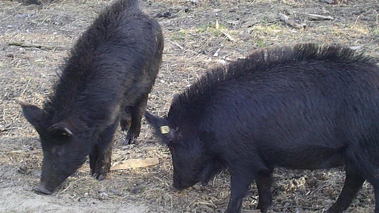 МЗХГ предприема стъпки за съхранение и развитие на уникалната порода Източнобалканска свиня