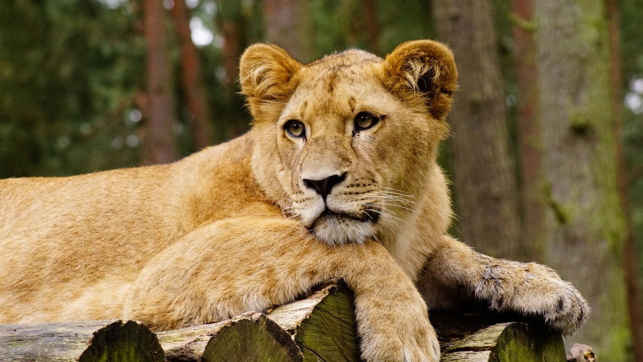 """Лъв, отглеждан като домашен любимец, беше конфискуван след публикации в """"ТикТок"""""""