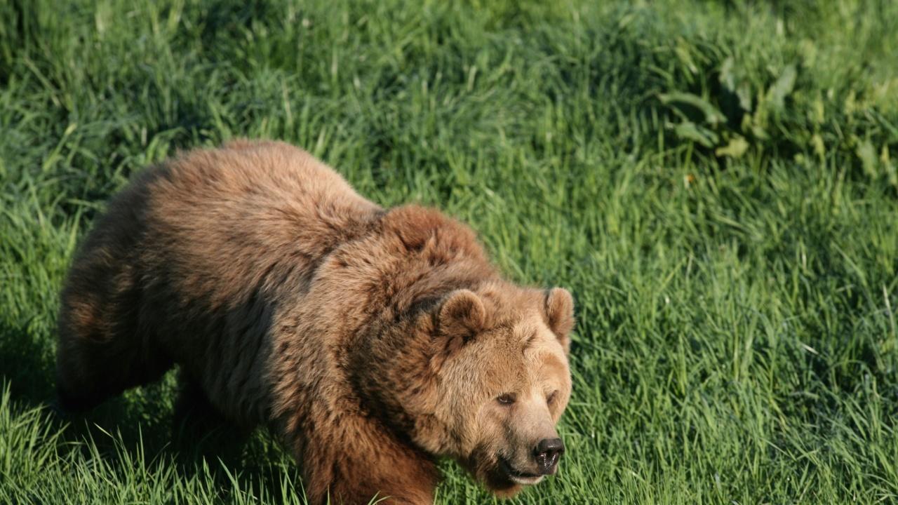 Изчезна мечката от Белица