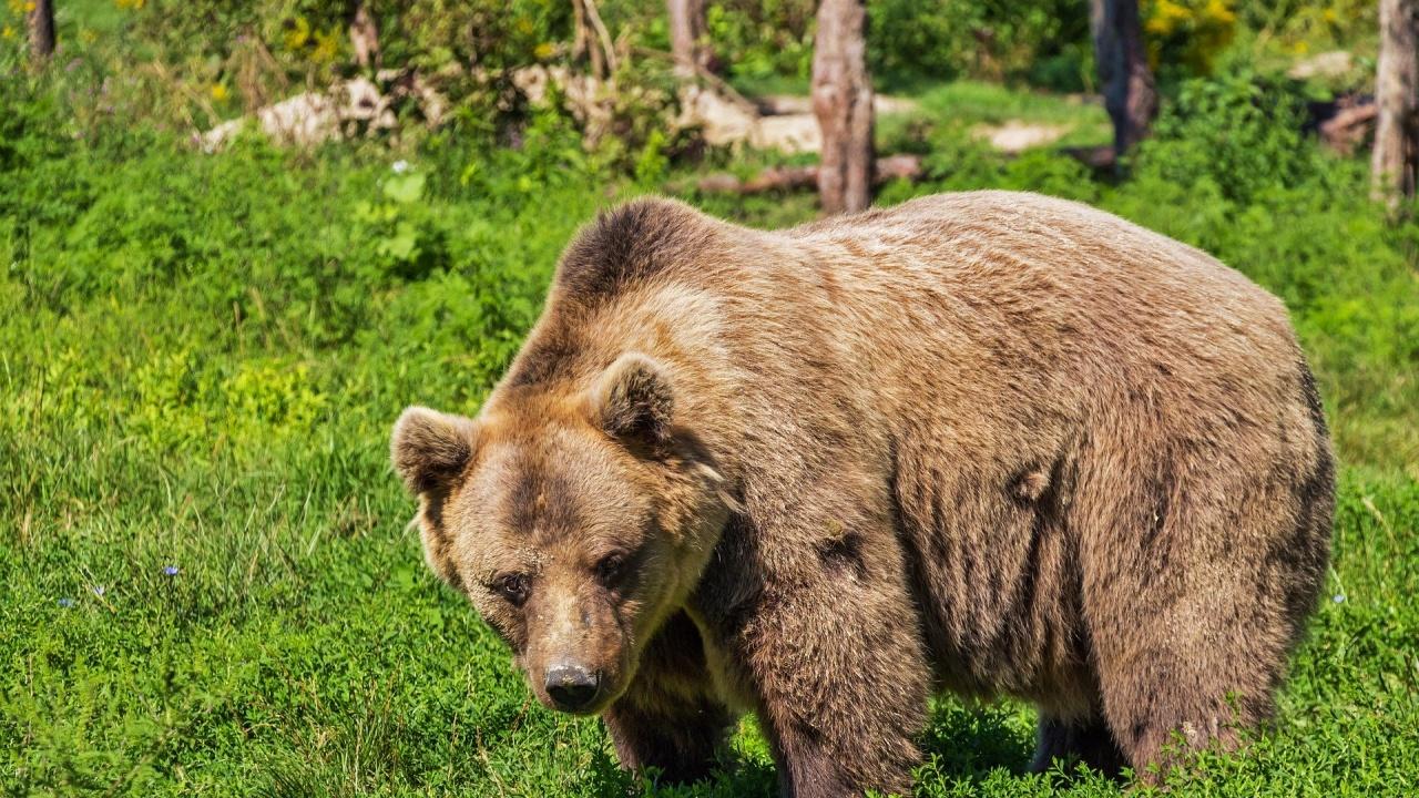 Къде е мечката?