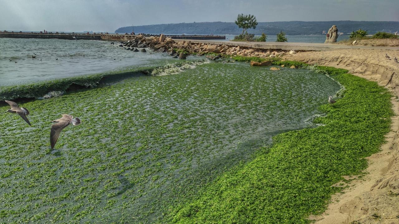 В супа от водорасли се превърна морето край Варна